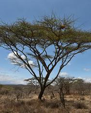 "Acacia tree or ""whistling thorm"""